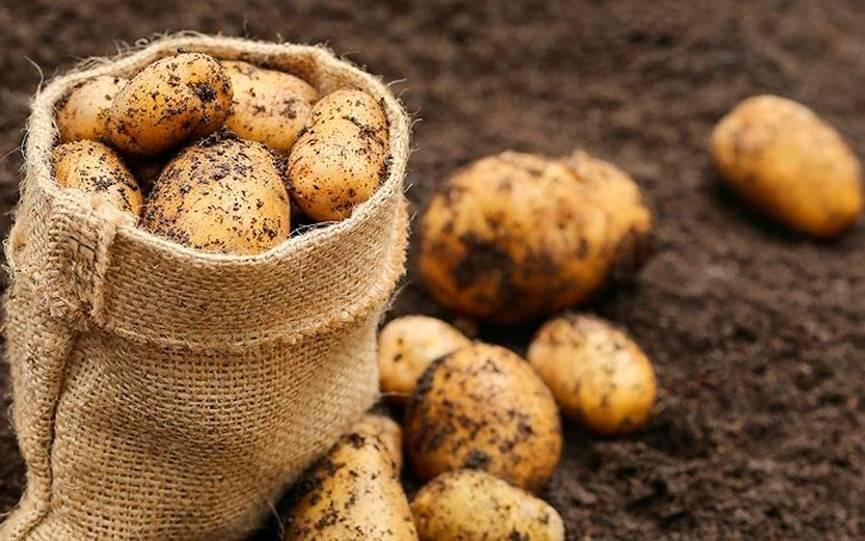Урожай картофеля уже в конце июня (видео)