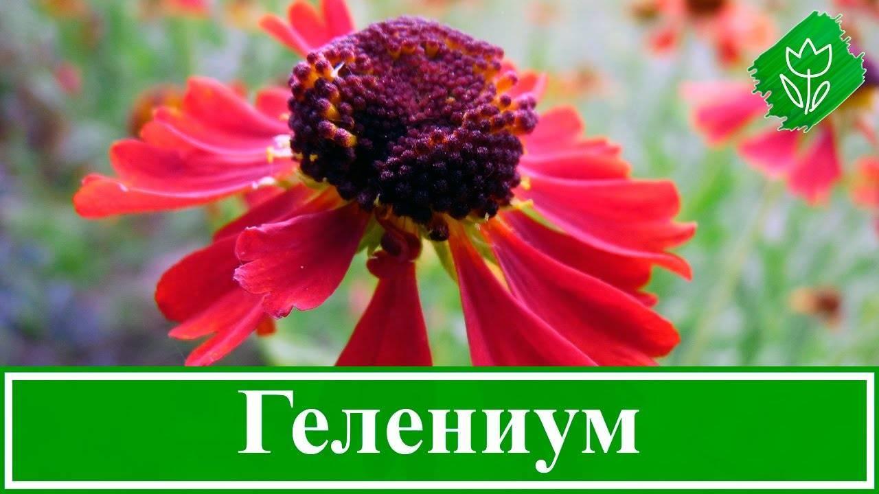 Гелениум многолетний: описание сортов и особенности выращивания