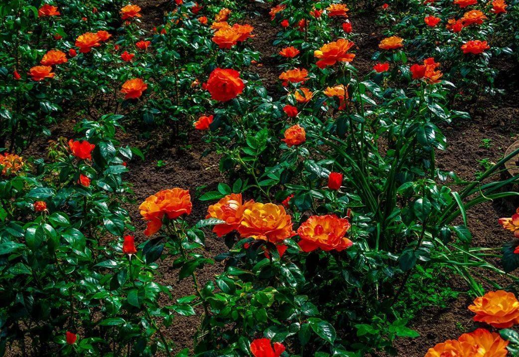 Камыш: описание, виды и выращивание