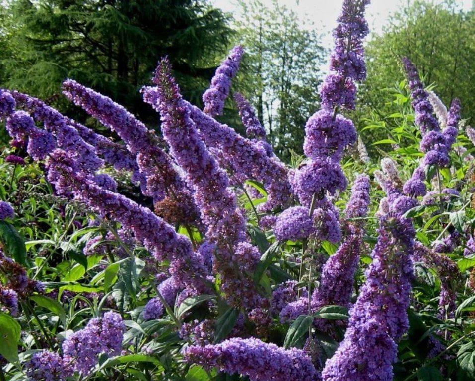 Будлея — красота в саду на многие годы