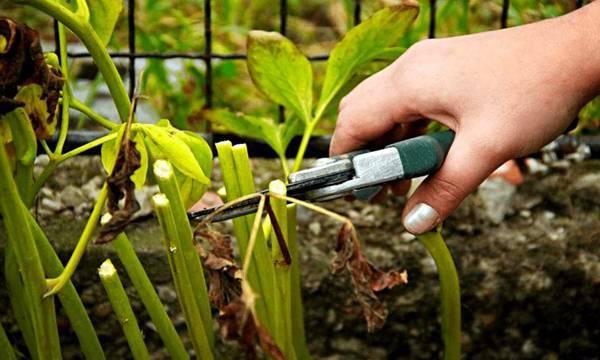 Древовидный пион: особенности выращивания и ухода