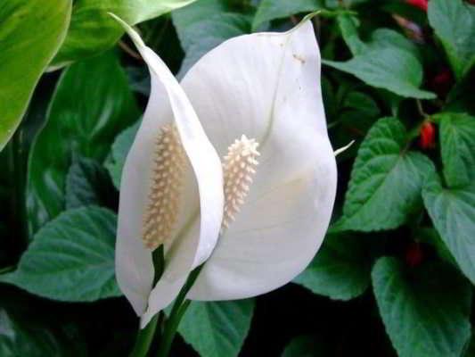 Чернеют, сохнут или желтеют листья спатифиллума - как помочь растению