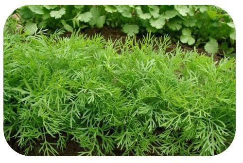 Как сеять укроп правильно – весенний, зимний и подзимний посев