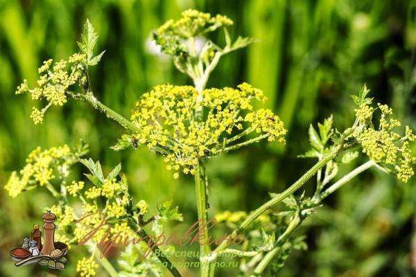 Выращивание пастернака из семян – все нюансы от посева до уборки урожая