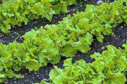 """Как вырастить салат на подоконнике: """"айсберг"""" и другие сорта салата"""