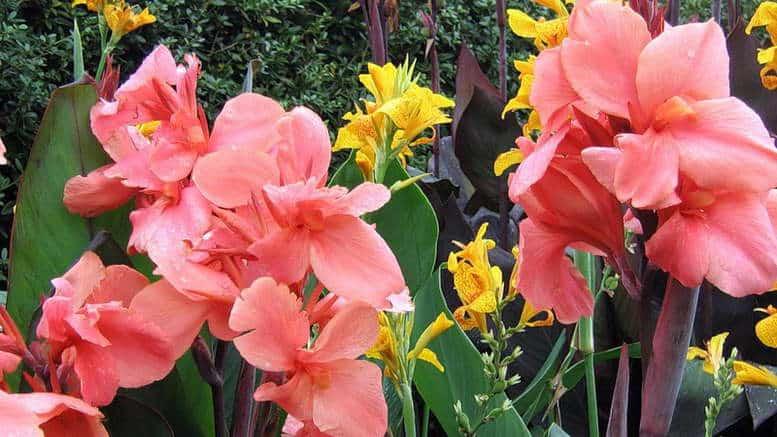Почему не цветет глоксиния в домашних условиях