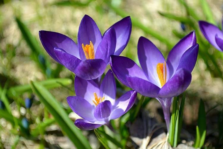 Выгонка крокусов зимой и ранней весной