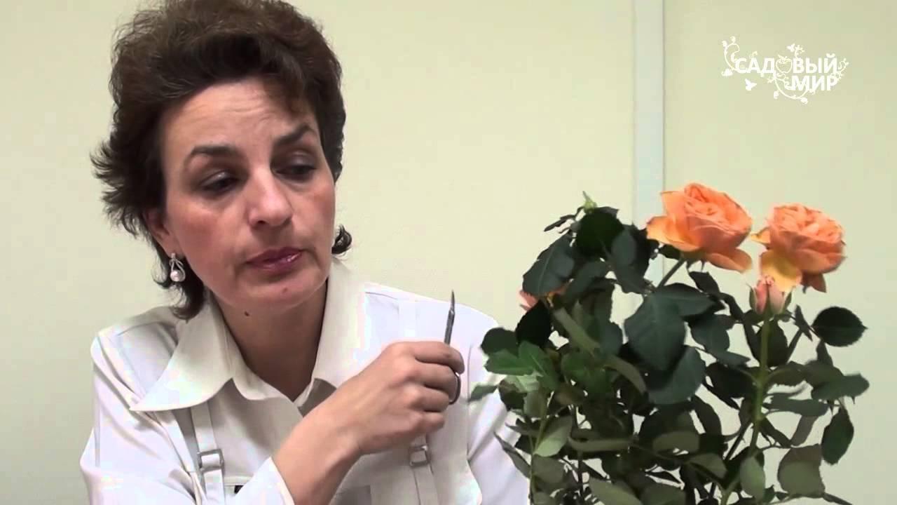 Роза засыхает — как реанимировать? роза в горшке — уход после покупки