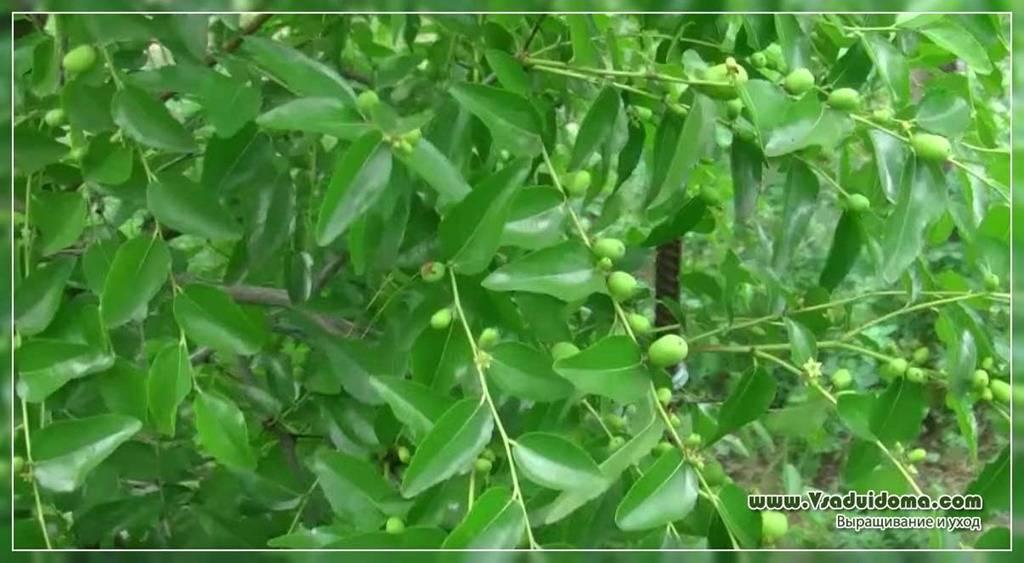 Унаби (зизифус): полезные свойства, противопоказания, калорийность и пищевая ценность ягод