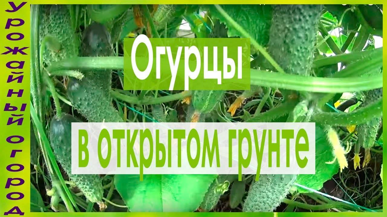 Как и когда сажать семена огурцов в открытый грунт