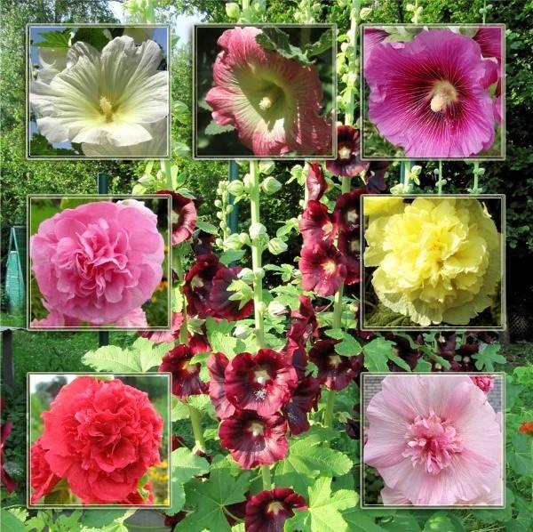 Виды и сорта мальвы для вашего сада