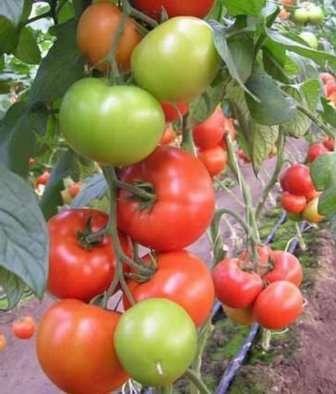 Сорта помидоров устойчивых к фитофторе