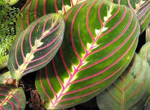Маранта трехцветная: правила ухода за молитвенным растением в домашних условиях