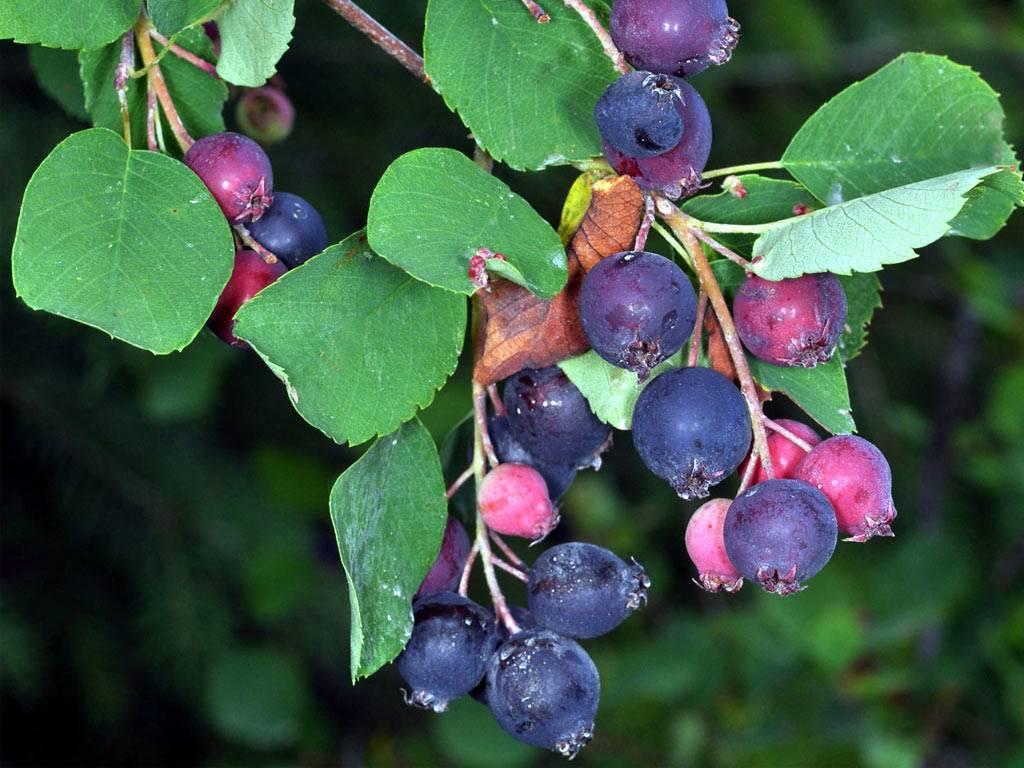 Лечебные свойства ягоды ирги, способы ее применения, правила заготовки