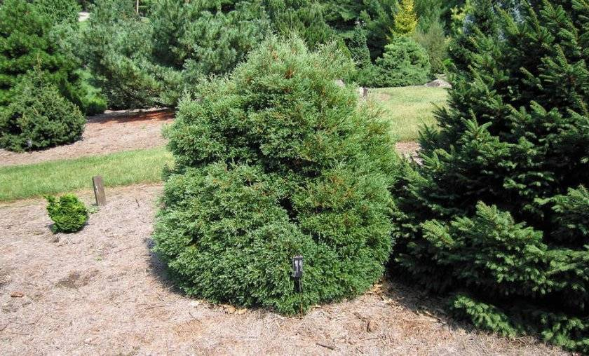Кипарисовик – хвойное растение