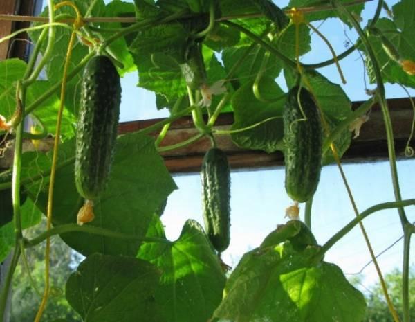 Огурцы на окне: выращивание зимой