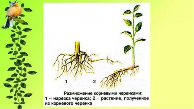 Правила размножения винограда отводками