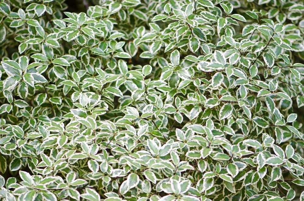 Неприхотливый вечнозеленый кустарник для вашего сада — «бересклет форчуна»: посадка и уход в домашних условиях