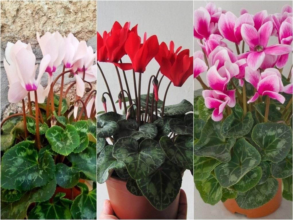 Размножение цикламена семенами — шанс оставить достойную смену