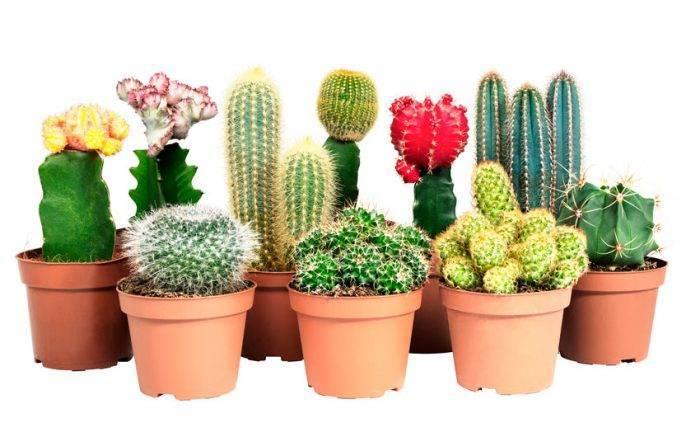 Размножение кактусов: как рассадить цветок «детками» и что делать, если растение не приживается?