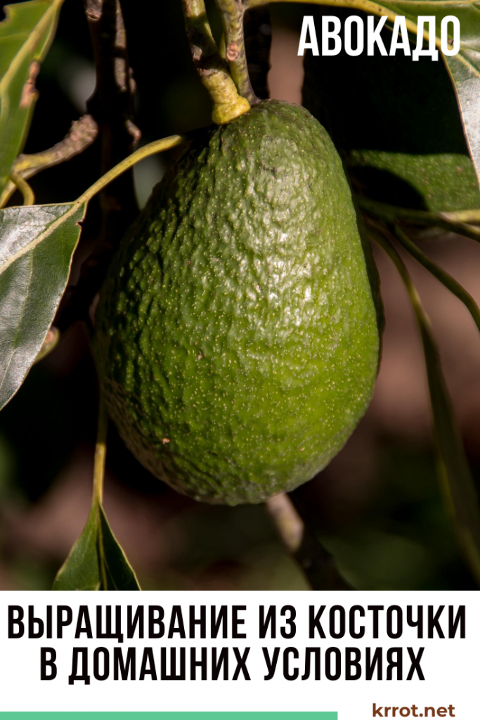 Авокадо из косточки —  выращивание в домашних условиях