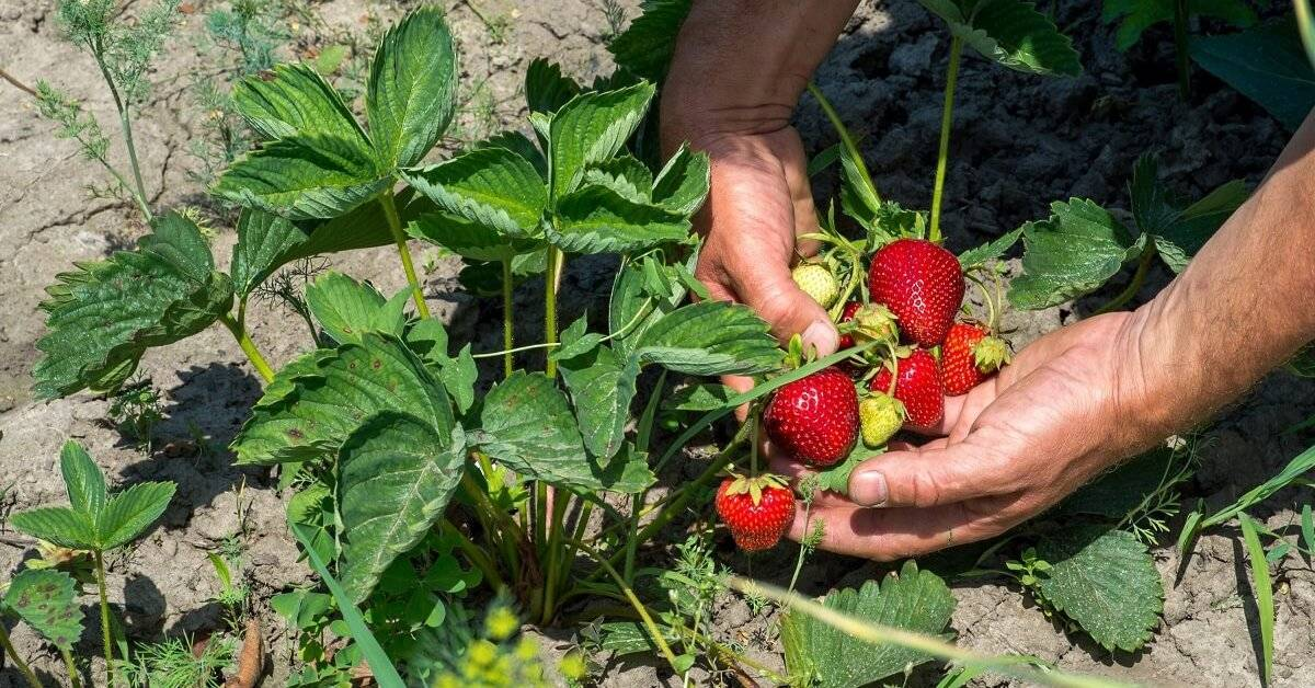 Как получить большой урожай клубники