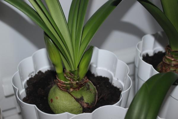 Разбираемся, почему не цветет эухарис и как заставить растение выпустить стрелку