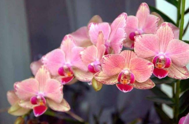 Необычная черная орхидея. описание сортов, фото, особенности ухода