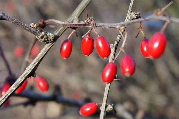 Варенье из барбариса на зиму — рецепты приготовления, полезные свойства, видео