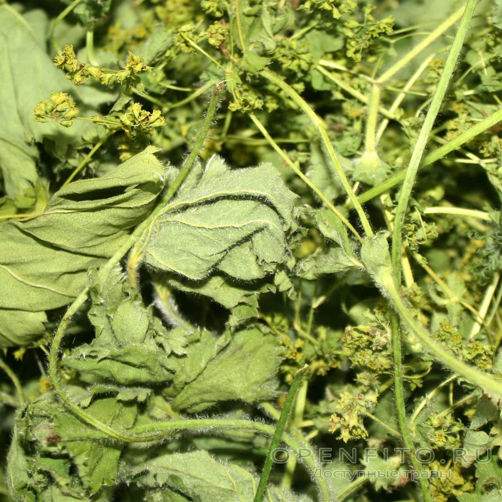 Манжетка — описание лекарственного растения. сбор, заготовка и противопоказания к применению (105 фото)