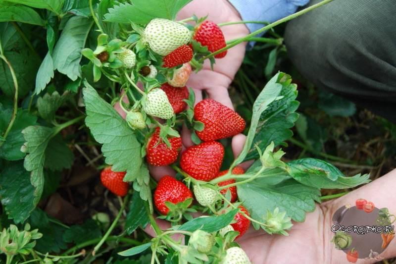 Технология успешного выращивания богатого урожая ремонтантной клубники