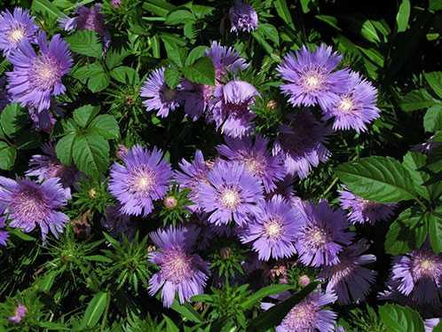 Неприхотливые и долгоцветущие растения однолетники и многолетники для сада
