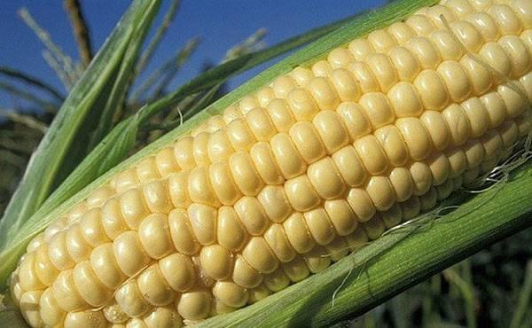 Стадии спелости кукурузы
