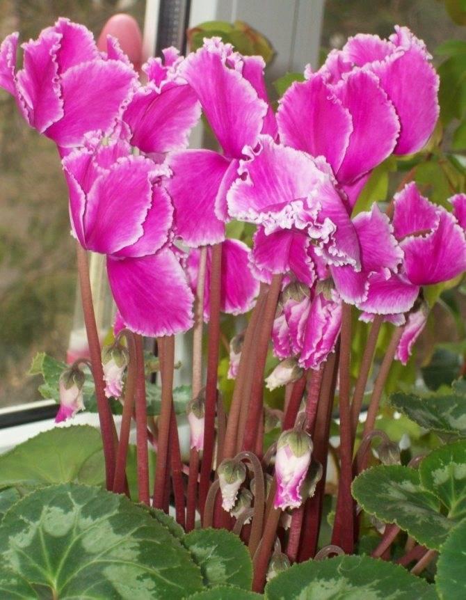 Цветок цикламен (дряква, альпийская фиалка) — cyclamen
