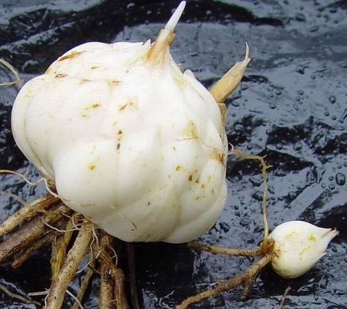 Размножение лилий: способы и технология