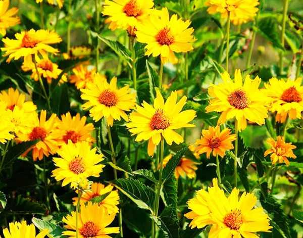Калужница лесная, описание растения, выращивание