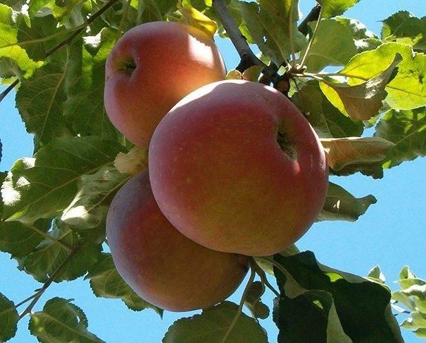 Зимостойкие сорта яблок для средней полосы и северных регионов