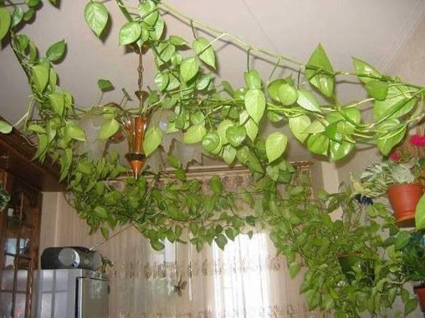 А вы выращиваете плющ комнатный?