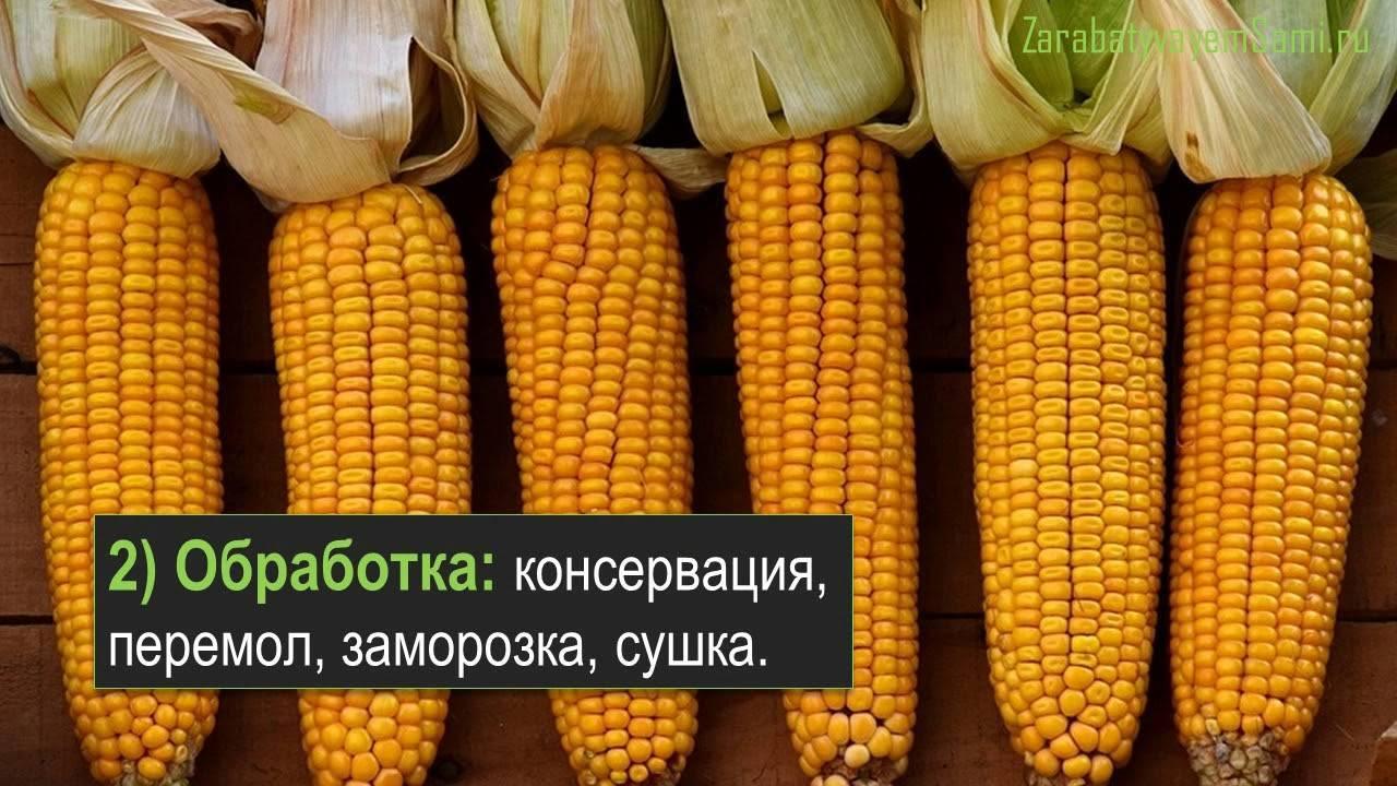 Выращивание сахарной кукурузы