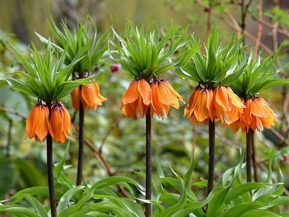 Цветок рябчик обыкновенный: особенности посадки и ухода в открытом грунте