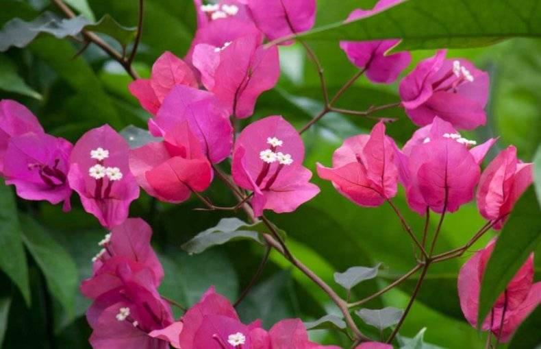 Как ухаживать забугенвиллией: разрушаем мифы отяжелом характере «бумажного цветка»