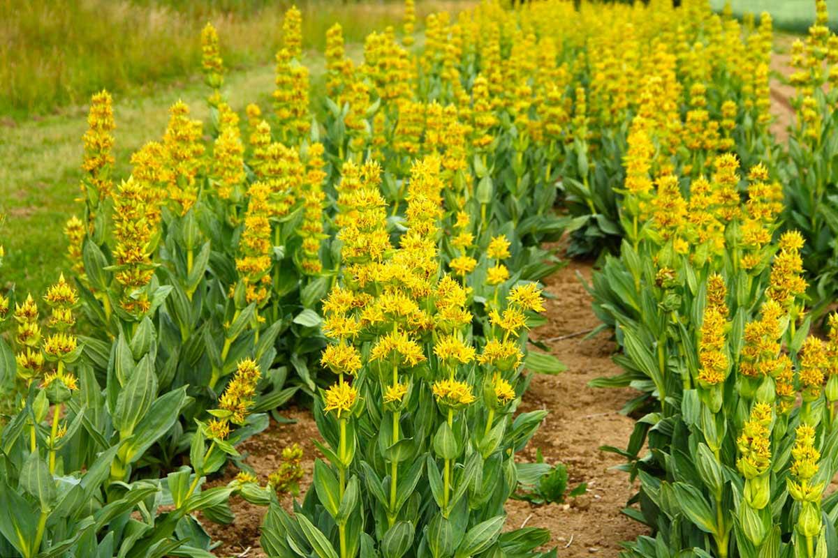 Выращивание горечавки или как создать синее цветочное море под вашими окнами