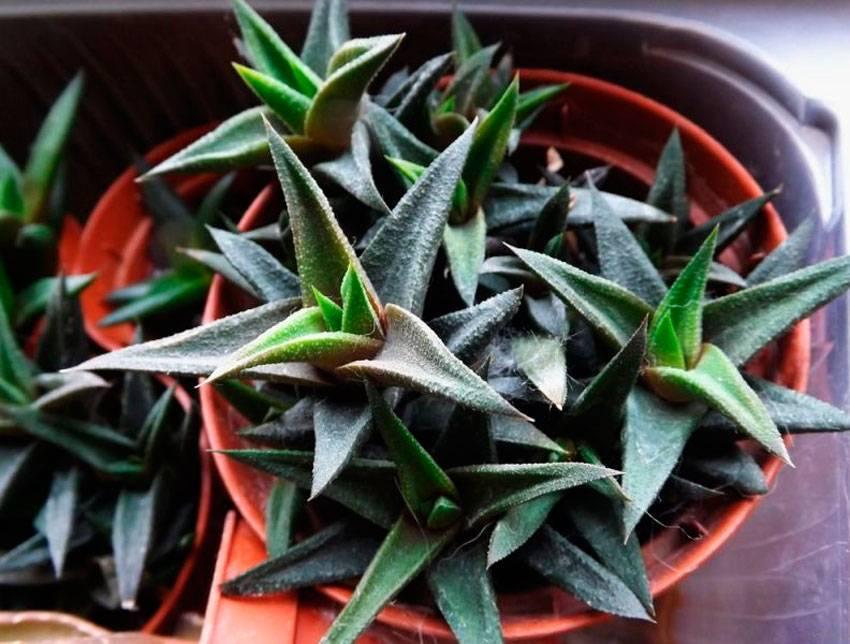 Как выращивать хавортию в домашних условиях: уход и полив