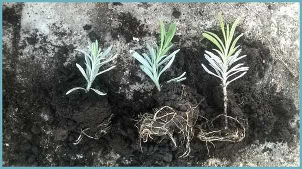 Как вырастить лаванду из семян?