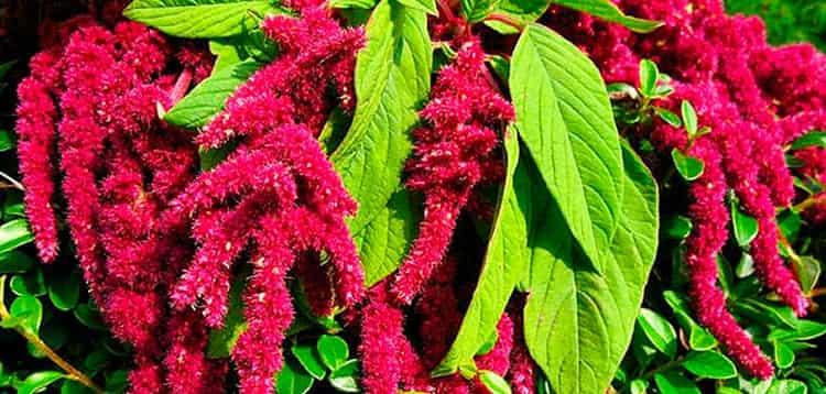 Амарант: польза или вред - полезные и лечебные свойства растения и его применение