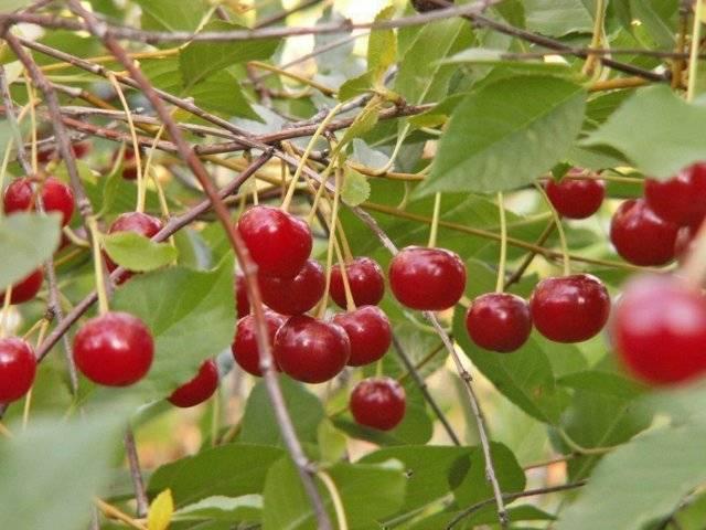 Cорта вишни которые опыляют друг друга