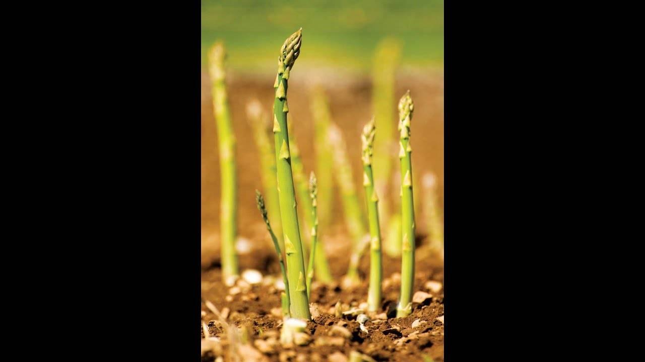Спаржа аржентельская: описание растения и советы по уходу за ним