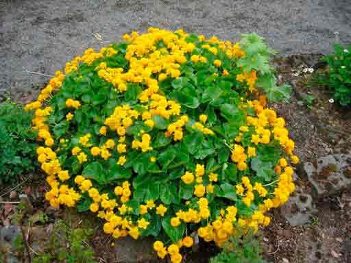 Калужница болотная: сорта растения, описание и его применение