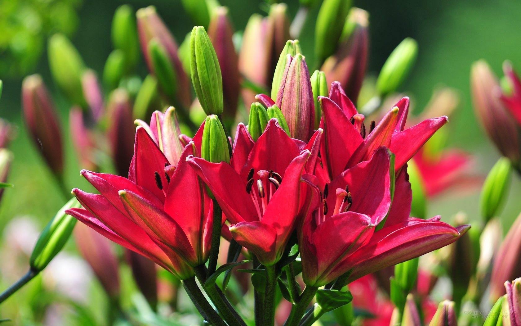 Подкормки и удобрение садовых лилий на протяжении всего сезона