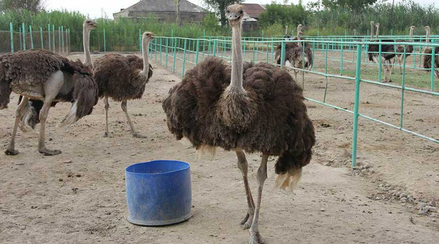 фото страусят в домашних условиях